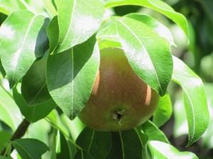 Blushing pear